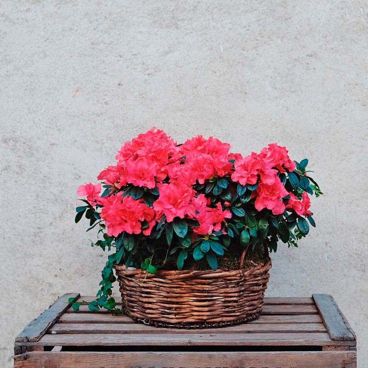 Envía una cesta de azaleas rosas a tus seres queridos. Una planta decorativa, llena de color y duradera, presentada en una cesta de mimbre y decorada con musgo.