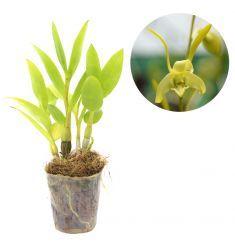 Dendrobium Archipelagense Rp 150,000