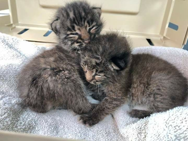 2 1 2 Week Old Bobcat Kittens Rescued On Memorial Day 2018 They Re Names Are Bravo Tango Not Sure Which Is Wh Big Cat Rescue Cat Rescue Big Cat Rescue Tampa