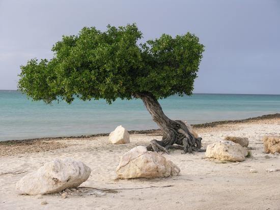 Aruba Beach Club, Palm - Eagle Beach Picture: Divi tree - Check out TripAdvisor members' 9,605 candid photos and videos of Aruba Beach Club