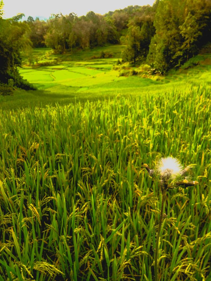 growth, field, nature, green color, beauty in nature, agriculture, grass, crop, landscape, tranquil scene, tranquility, cereal plant, rural scene, day, scenics, no people, outdoors, wheat, freshness, rice paddy, tree