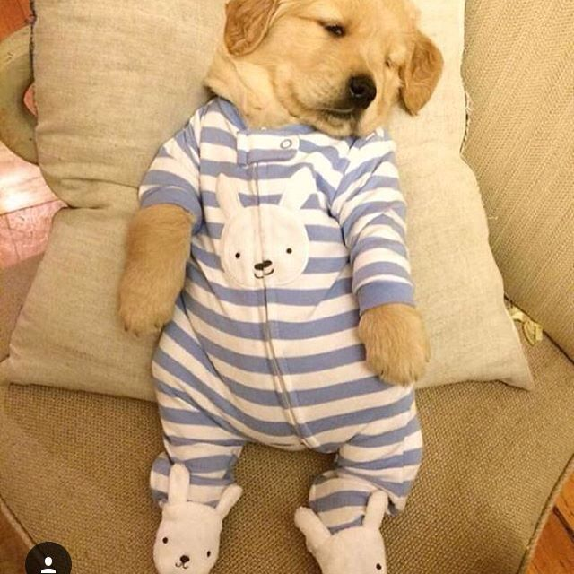 The fluffy dog | Dog in baby clothes ️ ️ | Pinterest | Dogs ... Golden Retriever And Baby
