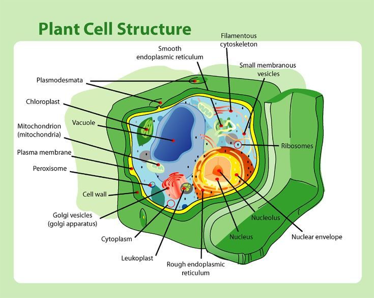 Structure of a Plant Cell: A Visual Guide