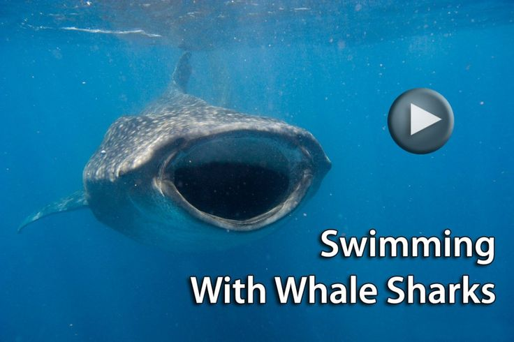 Four Whale Shark Facts http://travel4wildlife.com/four-whale-shark-facts/#.UuhPQ_Yo5r4