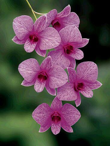 Cooktown Orchid...