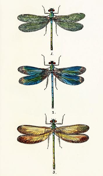 Dragonfly – British Libellulinae – 1845 – Insect Illustration Poster