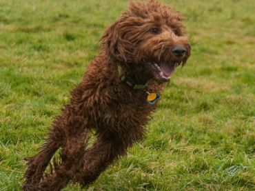 Compare Dogs Labradoodle vs Goldendoodle. Detailed info