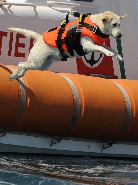 イタリア・ローマの北100キロにある海岸で、ライフベストを着て海に飛び込むラブラドール犬。同国では各地のビーチで、人命救助犬が活躍している(2010年08月22日) 【AFP=時事】