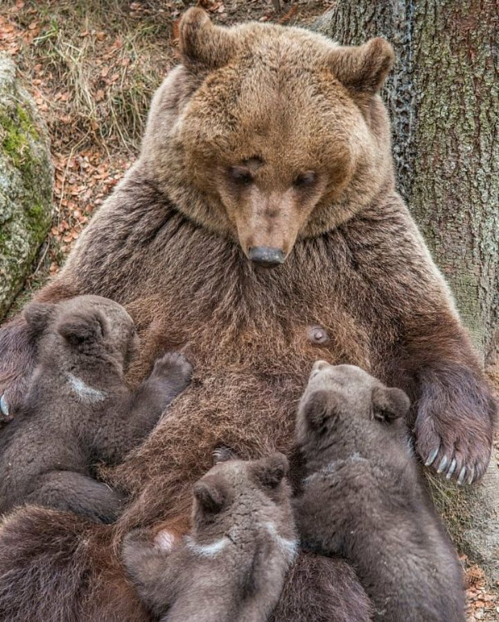 Nursing Mama Bear.