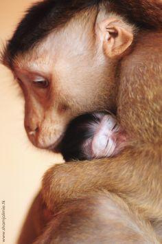 Şeki, bir domuz kuyruklu makak, benimsenen bebek Shakinyet, uzun kuyruklu makak