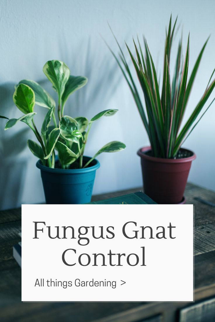Get Rid Of Gnats In House Plants In 2020 Gnats In House Plants Plants How To Get Rid Of Gnats
