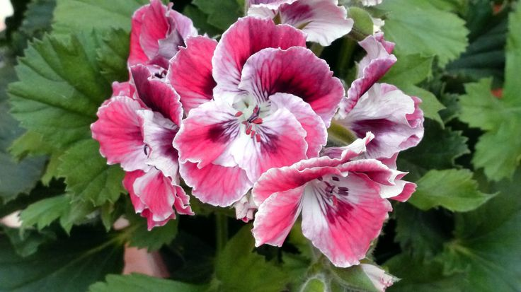 1000 ideas about geranium care on pinterest geranium pratense geraniums and overwintering - Overwintering geraniums tips ...