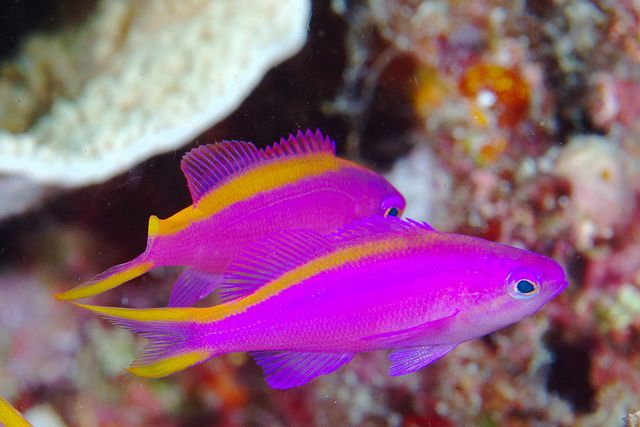 17 best images about tropical fish on pinterest tropical for Pink saltwater fish