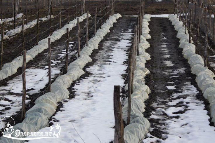 Как укрыть виноград на зиму – процесс в подробностях Содержание статьи: 1…