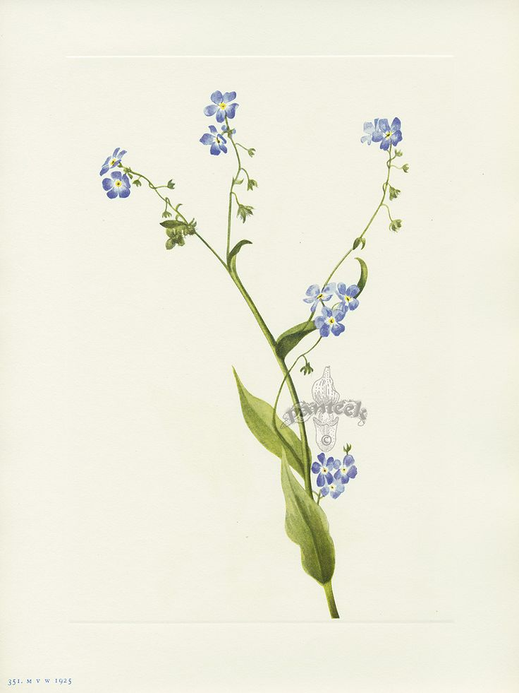 "Antique prints of ""Bur-Forget-Me-Not"" from Walcott North American Wild Flowers 1925"