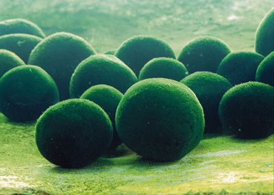 A rare and beautiful type of algae called marimo grows in some lakes in Japan's northern island of Hokkaido. Marimo forms soft green globes that sit in clusters on the lake bottom.: Green Globes, Fish Tanks, Alga Call, Aquarium, Beautiful Types, Northern Islands, Marimo Moss Ball, Soft Green, Lakes Bottoms