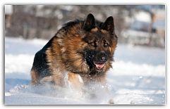 Немецкая овчарка - универсальная порода У немецкой овчарки мудрые и добрые глаза. Эта собака – верный друг и надёжный защитник. Благодаря телевидению, у многих данная порода ассоциируется со служебной, но немецкая овчарка может стать настоящим компаньоном и любящим питомцем ...  http://c.cpl1.ru/7kNM