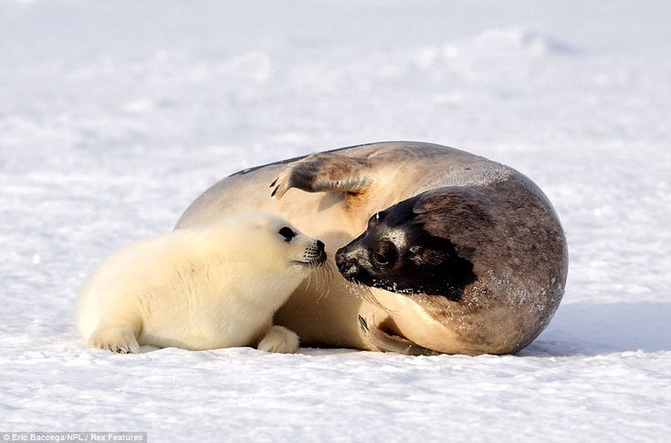 What an ice smile: Adorable two-week-old seal pups show their playful side under the watchful eye of their mother | Mail Online