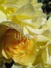 Yellow Rose.  Credit: Sarah Uhlman