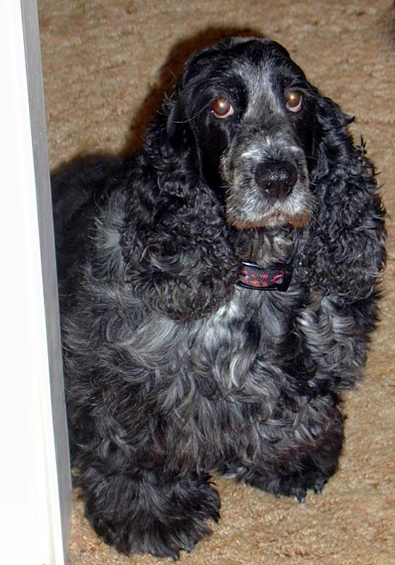 17 Best Images About Roan Springer Spaniels And Roan