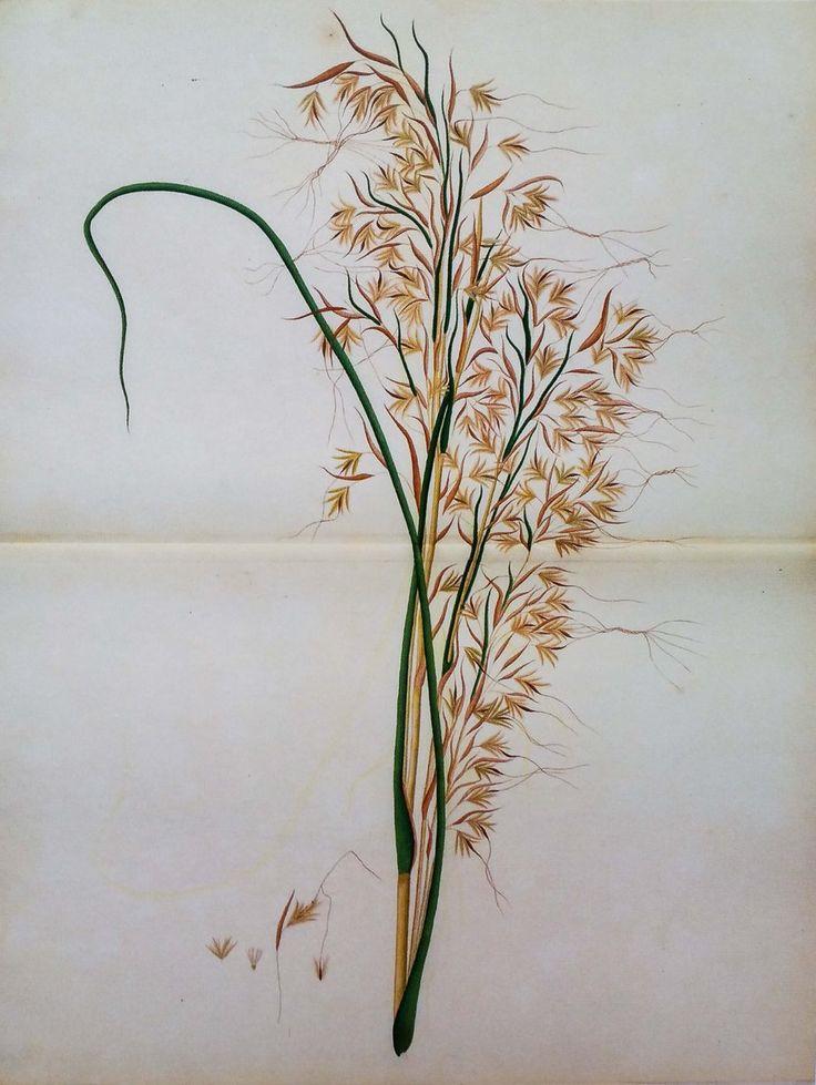 Grass. Genus Themeda. Dacca artist, 1770. James Kerr collection. Natural History Museum, London