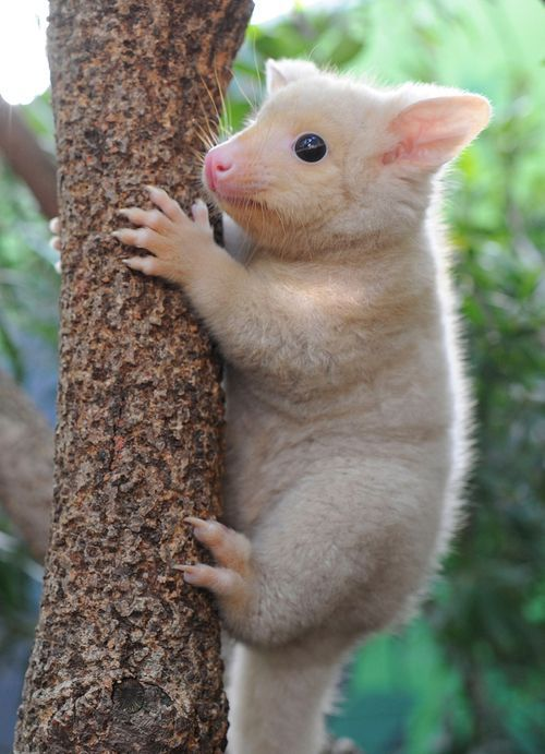 a tree-dwelling marsupial and native to Tasmania, had become the zoo's star attraction. The third Golden Brushtail Possum born at the zoo since 2008, Bailey is a testament to WILD LIFE Sydney's successful breeding program.         From zooborns            via Linda Rommelaere