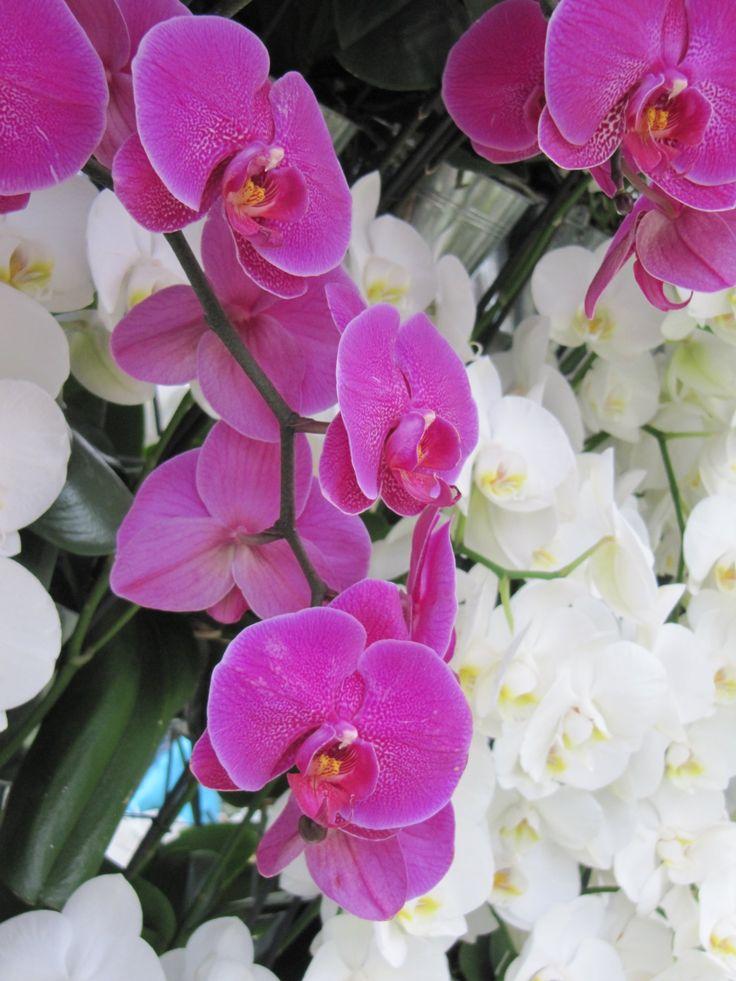 A lepke orchidea a legnépszerűbb, legigénytelenebb orchidea faj. Megmutatom, mit csinálj, hogy csodás, fürtös virágai hónapokig díszelegjenek a lakásban.