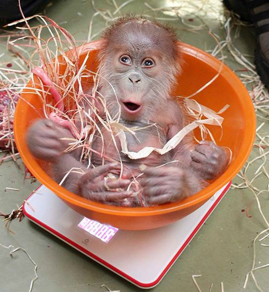 A baby Bornean Orangutan at Germany's Zoo Berlin is being raised by zoo keepers after her mother failed to care for her. From Zooborns