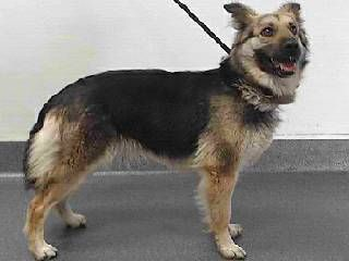 ID# 17-23392. Female German Shepherd mix. Arrived 05/30/17. Available at SEAACA, Downey,CA.