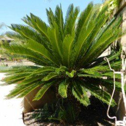 "Before you plant, first think about why you want to plant and get involved with yearly sago palm care and maintenance. A total guide to the ""Cycas revoluta""  and its problems."