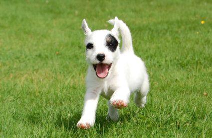 parson russell terrier info | Er Parson en rase for deg?