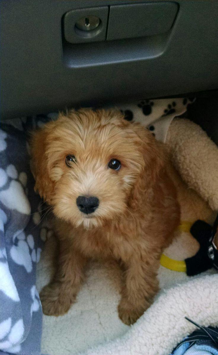 Miniature golden doodle puppy! My little teddy bear:-)
