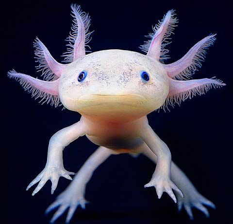 Rarely growing larger than a foot (30 centimeters) in length, the Axolotl is one of nature's smaller bundles of amazing. An endangered species in their native Mexico, these amphibians are a species of salamander that never undergoes metamorphosis and therefore remains gilled and aquatic for its entire life.