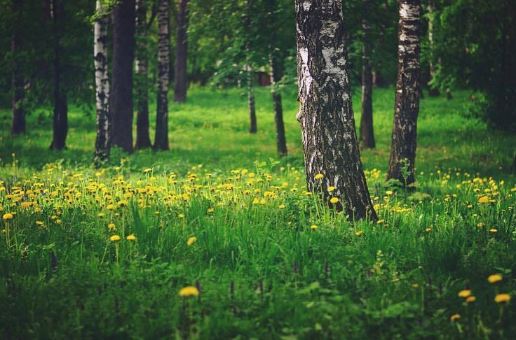 #березы #одуванчики #трава #лес #природа #forest #flowers #nature #grass