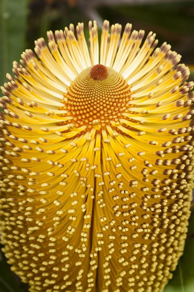 **Sunshine on a Stem - Burdett's Banksia, Western Australia