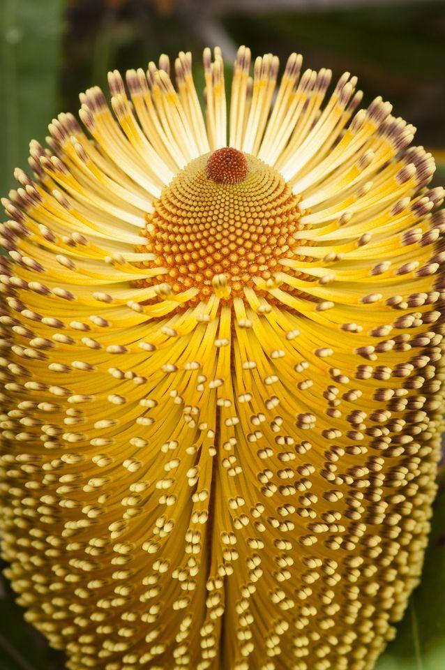 Burdett's Banksia [Banksia burdettii; Family: Proteaceae], Western Australia
