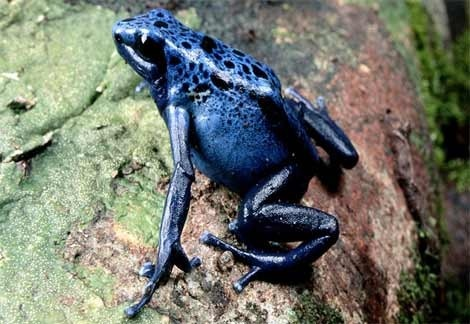 Rare and endangered blue poison dart frog