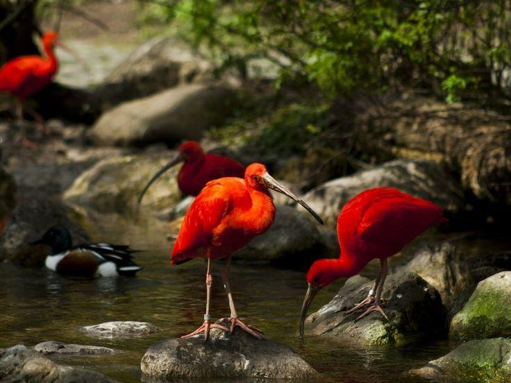 ibis rojos wallpaper