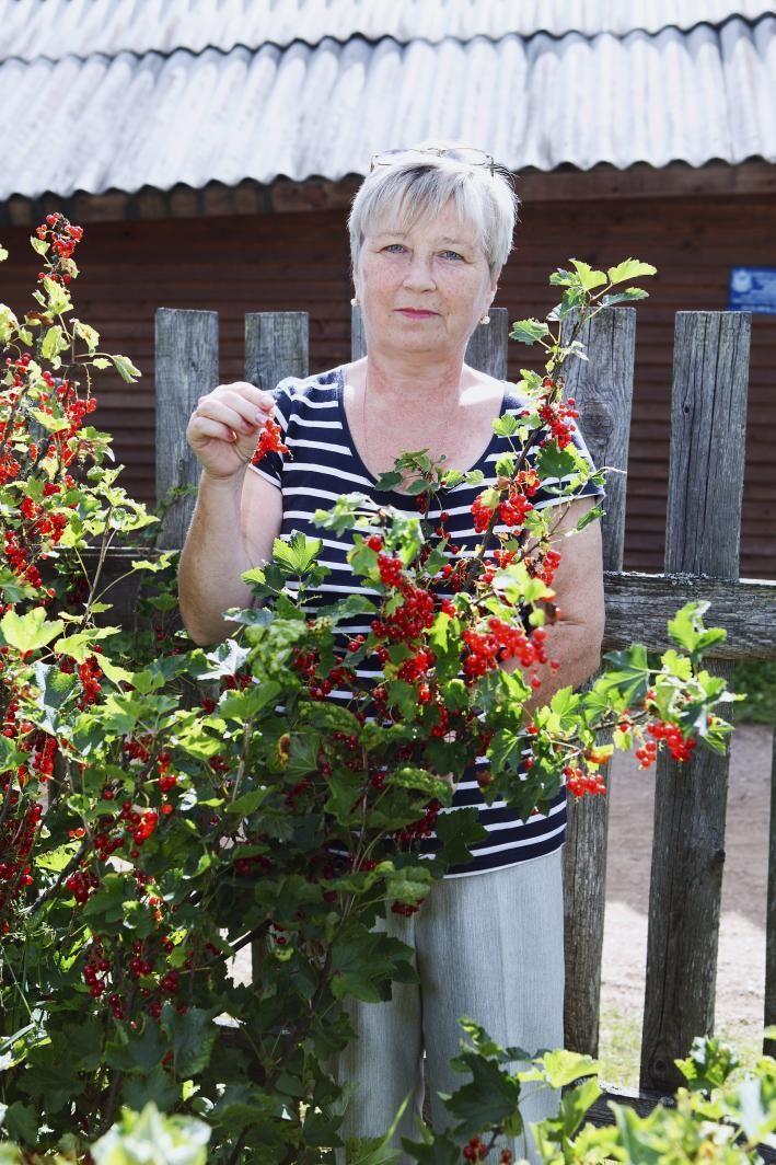 Frau erntet rote Johannisbeeren