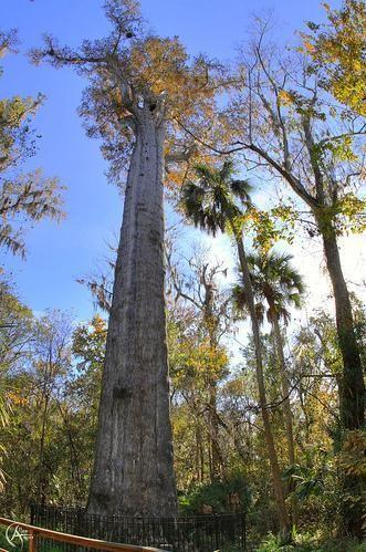arbre_senator_usa