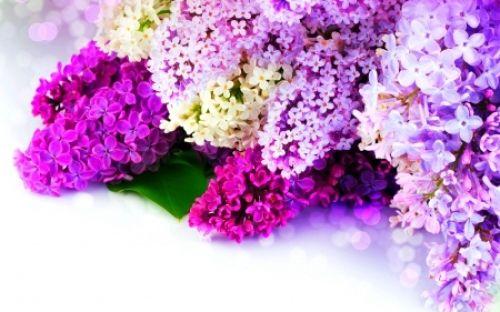 Bunga lilac © 2016 feed.id