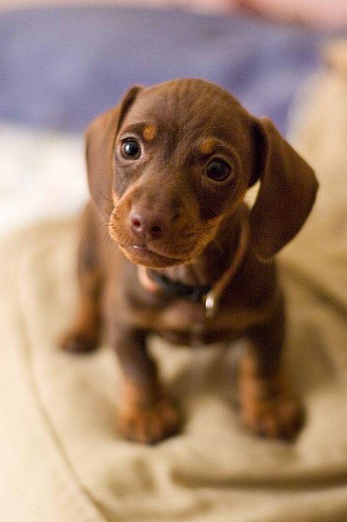 race de chien taille moyen de couleur marron, joli petit chien