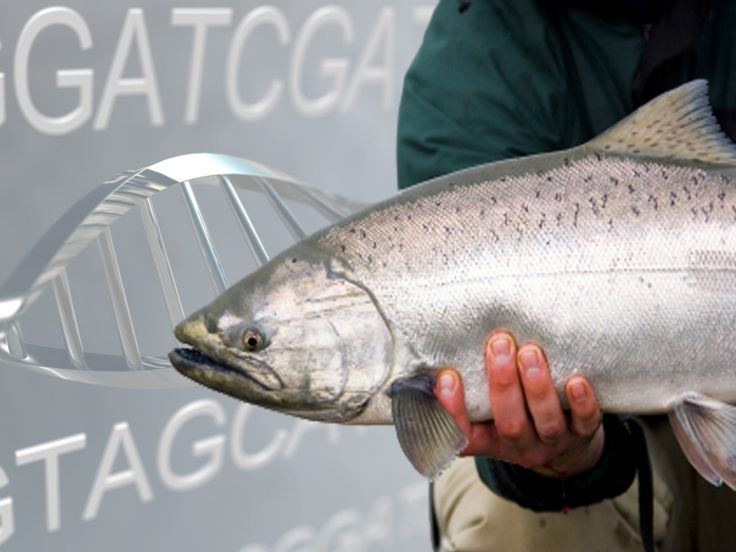 Tell Costco to reject genetically engineered salmon, sign this petition & repin.