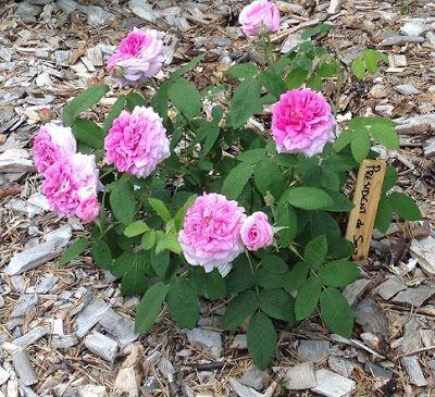 Takalo-Roppolan puutarha- ja mansikkatila: RUUSUT- rose President de Seze
