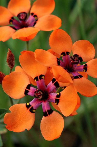 "Sparaxis Elegans ""Ii used to be that I would never pair oranges and pinks; but nature does!"""