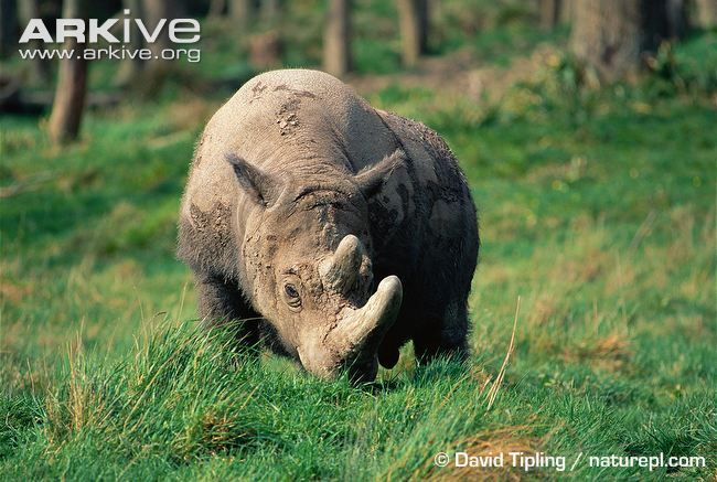 Sumatran rhinoceros -critically endangered