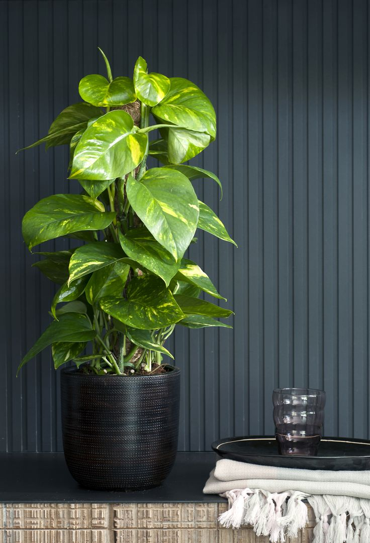Die Efeutute in klein und handlich  #efeutute #zimmerpflanzen #pflanzen #indoor #wohnzimmer #Epipremnum #pflanzenfreude