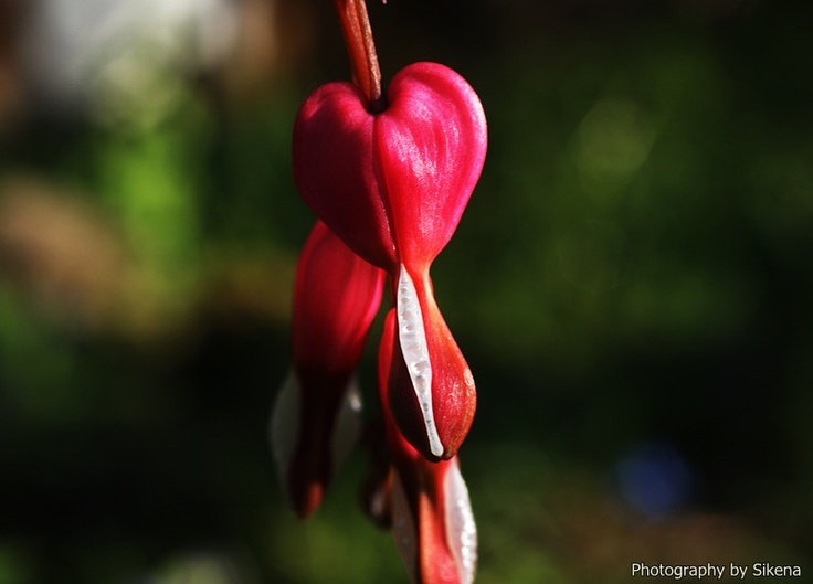 ~Bleeding Heart~