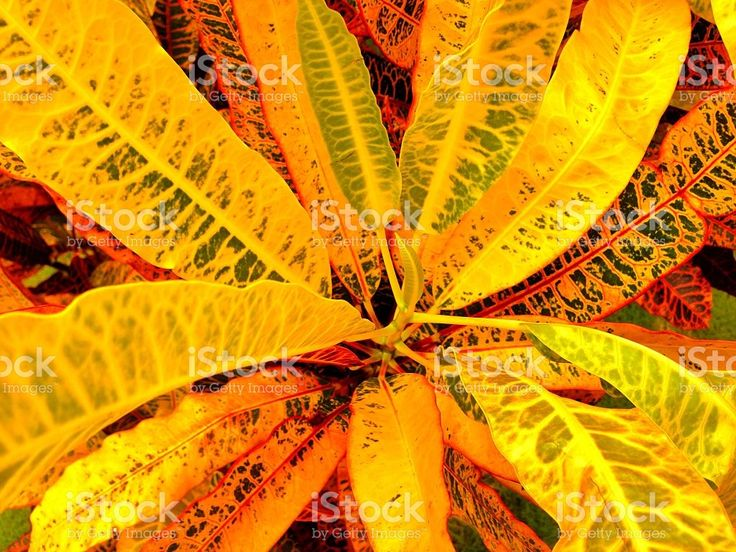 Yellow Crotons royalty-free stock photo