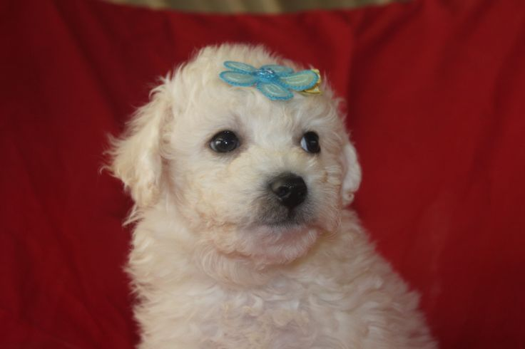 Bichon Frise Puppies - This is another male Bichon Frise puppy in a litter for sale at http://www.network34.com